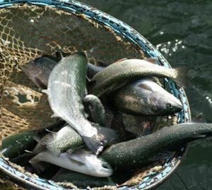 EKO DRINA – Ribnjak, prerada ribe, sveža i dimljena riba
