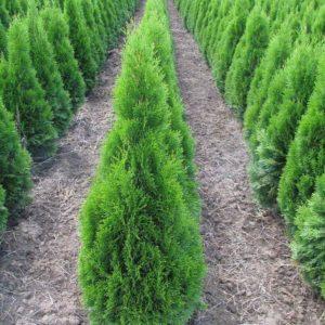 Rasadnik KEDAR – Uzgoj i prodaja biljaka