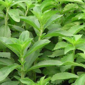 Uzgoj i proizvodnja zasladjivaca Stevia Dupljaja